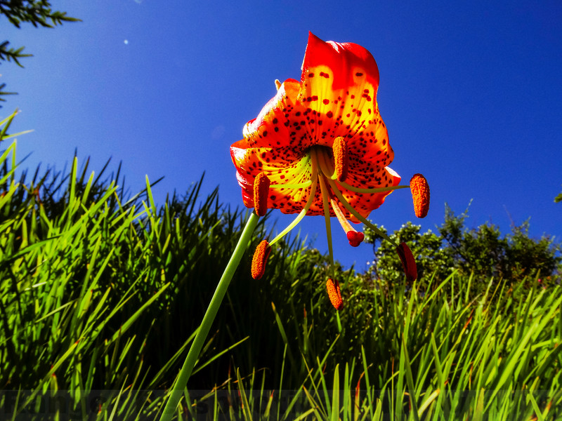 Leopard Lily on Pine Mountain