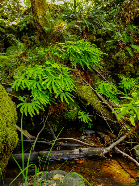 Western Maidenhair Ferns