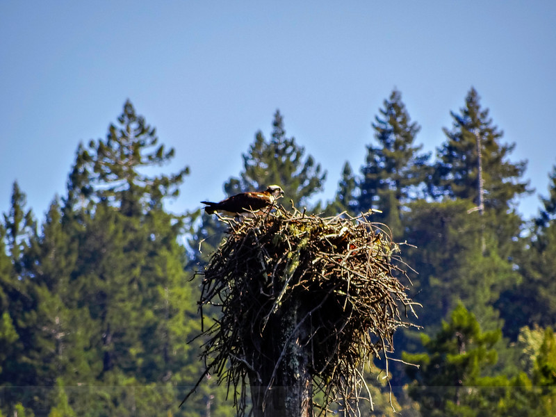 Osprey Nest at Kent Lake