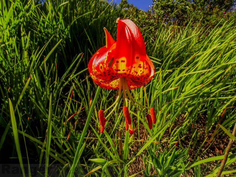 Lelpard Lily