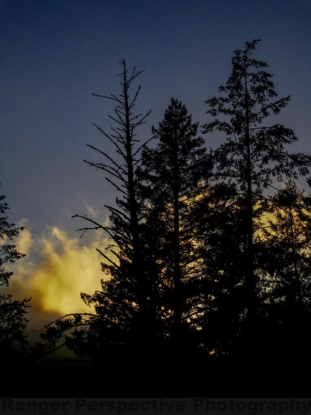 Douglas Fir, Foggy Twilight