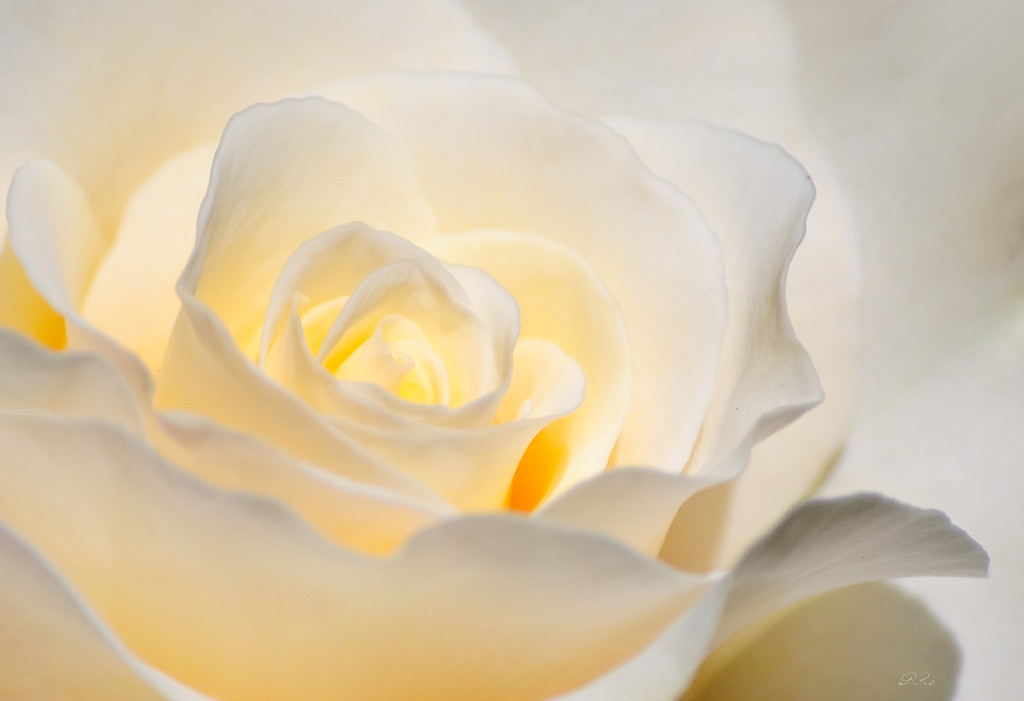 White Rose Blooming