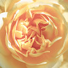 In A Yellow Rose