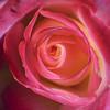 In A Rose