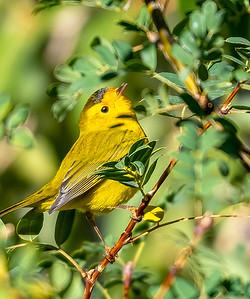 Wilson's Yellow Warbler