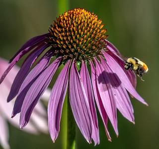 Purple Coneflower attracting Bee pollen collectors