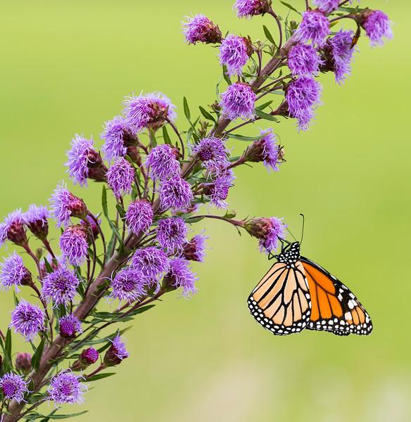 One monarch feeds on Savannah Blazing Star.