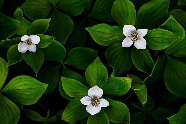 Bunchberry in Three