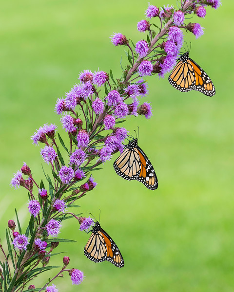 Three Monarch