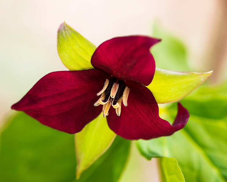 A wake robin trillium elicits pollinators in the spring.