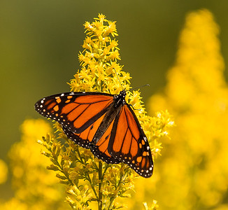 Monarch on Golden Rod Flower