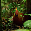 Day 14. Sri Lanka Junglefowl