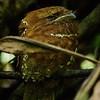 Day 8. Sri Lanka Frogmouth