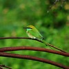 Day 4. Asian Green Bee-eater