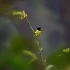 Day 16. Purple-rumped Sunbird