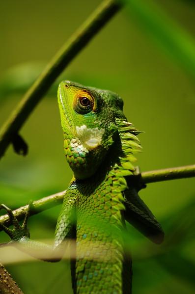 Day 1. Green Garden Lizard, Kitugala
