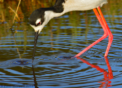 Black Necked Stilt Feeding