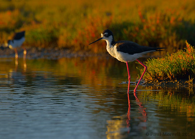 Black Necked Stilt at Sunset