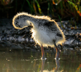 Black Necked Stilt Chick Preening
