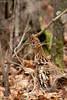 Ruffed Grouse - I
