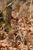 Ruffed Grouse - II