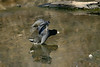 """""""American Coot-I"""" - C & O Canal Lock 75 - Allegany County Maryland"""