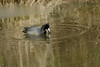 """""""American Coot-XI"""" - C & O Canal Lock 75 - Allegany County Maryland"""