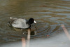 """""""American Coot-X"""" - C & O Canal Lock 75 - Allegany County Maryland"""
