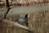 """""""American Coot-IX"""" - C & O Canal Lock 75 - Allegany County Maryland"""