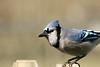 Blue Jay-II