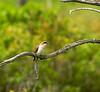 Black-billed Cuckoo-I