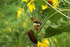 American Goldfinch - Back off..