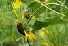 American Goldfinch-VIII
