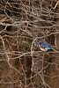 Eastern Bluebird-I