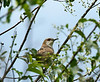 Black-billed Cuckoo-II