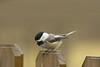 Black-capped Chickadee-II