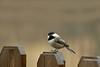 Black-capped Chickadee-I