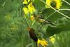 American Goldfinch-VI