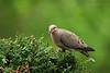 Mourning Dove-IV