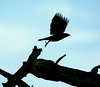 Red-winged Blackbird-II