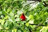 Northern Cardinal-I