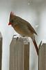 Northern Cardinal-III