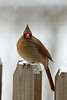 Northern Cardinal-II