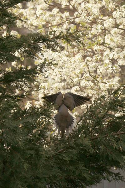 Mourning Dove-I