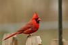 Northern Cardinal-VI