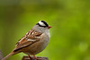 White-crowned Sparrow-III