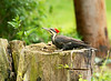 Pileated Woodpecker-I