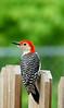 Red-bellied Woodpecker-II