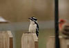 Downey Woodpecker-I