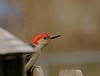Red-bellied Woodpecker-I